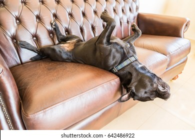 A black staffordshire bull terrier dog asleep on a brown vintage style leather sofa. He is lying on his back with his feet in the air with his head hanging off the sofa. he is very relaxed.