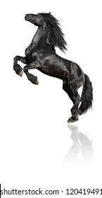 Black stallion, 7 years old friesian horse, isolated on white background