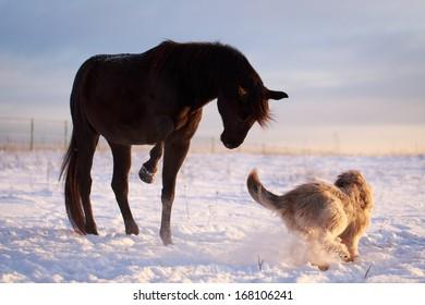Black stallion and dog