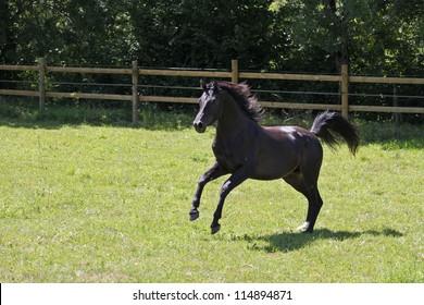 Black stallion, freedom and horses