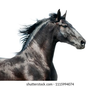 Black stallion on a run isolated over a white