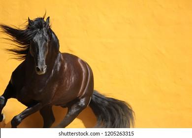 Black Stallion pivoting against a yellow wall
