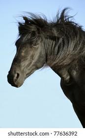 Black stallion portrait