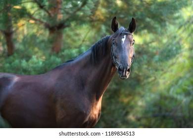 Black stallion portrait in forest in sunlight