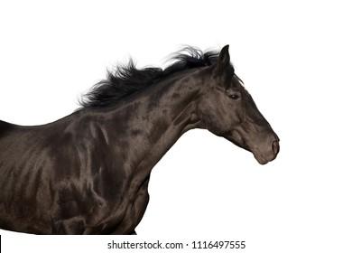 Black stallion portrait run isolated on white background