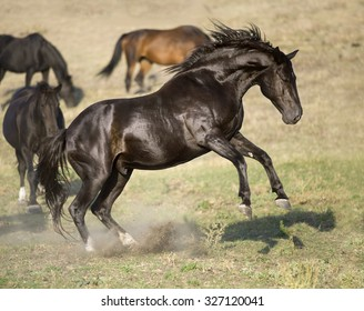 Black stallion rearing up, portrait in freedom