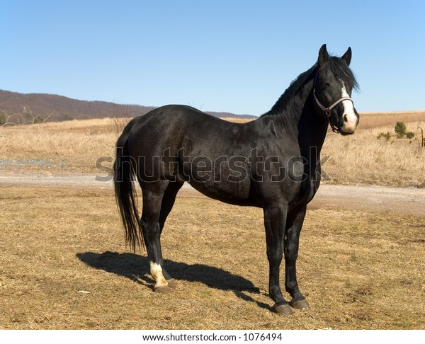 Black Stallion Wide