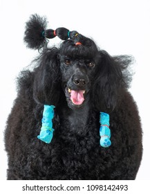 Black standard Poodle Dog portrait on white isolated background. With hair roles
