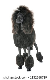 black standard poodle in front of white background