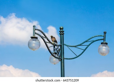 Black starling on a street lamp