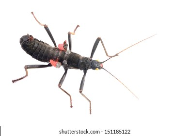 black stick insect Peruphasma schultei isolated