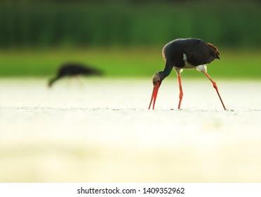 Black stokr on the lake