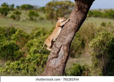 Black Stones Lioness climbing on a tree in Masai Mara, Kenya