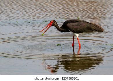 Black stork fishing in a river near Skala Kallonis on the island Lesbos in Greece