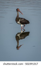 Black stork in mirror like shallow water