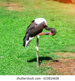 Black Stork tidies the feathers summer day.