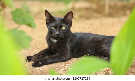 Black stray cat, fur dirty from dust and hairs, laying on sandy ground, green leaves around, looking straight into camera.