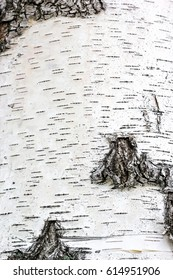 black stripes, pattern of birch bark, birch bark texture natural background paper close-up, birch tree wood texture, natural birch bark background