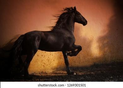 Black strong stallion moving