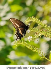 A black swallowtail butterfly in the garden.