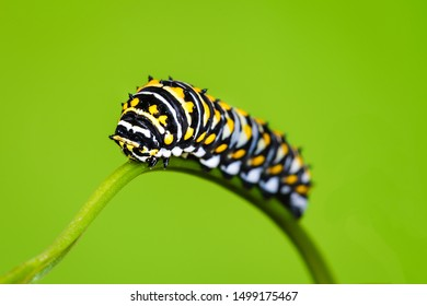 A black swallowtail butterfly lava on a  parsley  petiole.