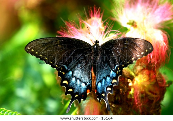 Black Swallowtail butterfly in Mimosa tree blossoms