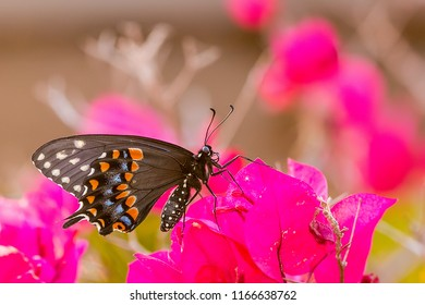 Black Swallowtail butterfly on bulganvilla