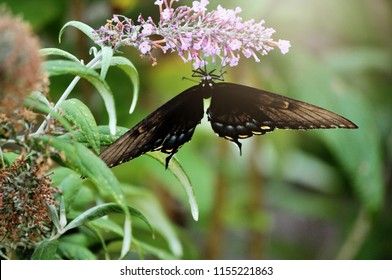 A black swallowtail butterfly on a butterfly bush.