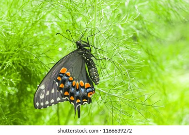 Black Swallowtail Butterfly - (Papilio polyxenes)
