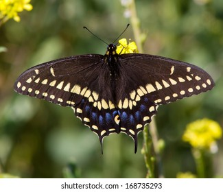 Black Swallowtail Butterfly (Papilio polyxenes) perched on vegetation near San Antonio (Bexar County) in south Texas