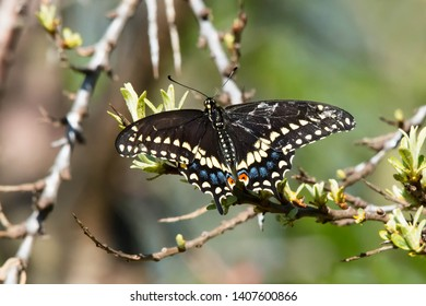 A Black Swallowtail Butterfly is perched on a branch. Also known as the American Swallowtail and Parsnip Swallowtail. Ashbridges Bay Park, Toronto, Ontario, Canada.