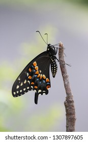Black Swallowtail Butterfly Profile Perched on Natural Wood Stick Macro Photography Image