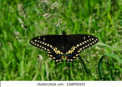 Black Swallowtail Butterfly resting in the grass. Also known as the American Swallowtail and Parsnip Swallowtail. Colonel Samuel Smith Park, Toronto, Ontario, Canada.