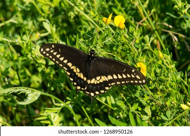 Black Swallowtail Butterfly resting in the greenery soaking up the sun. Also known as the American Swallowtail and Parsnip Swallowtail. Carden Alvar Provincial Park, Kawartha Lakes, Ontario, Canada.