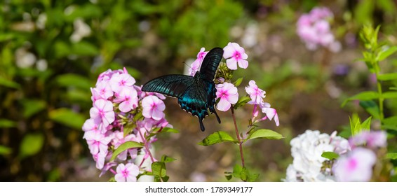 Black swallowtail  butterfly sits on a pink phlox flower against a blurred green foliage background
