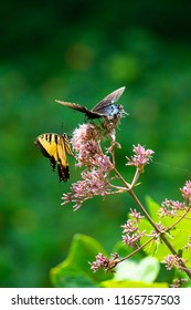 A black swallowtail and an Eastern tiger swallowtail butterfly feed on the flowers of a Joe Pye weed in full sunshine.