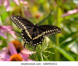A black swallowtail enjoying the fruits of the garden.