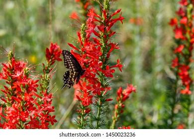 Black Swallowtail (Papilio polyxenes) on Standing Cypress