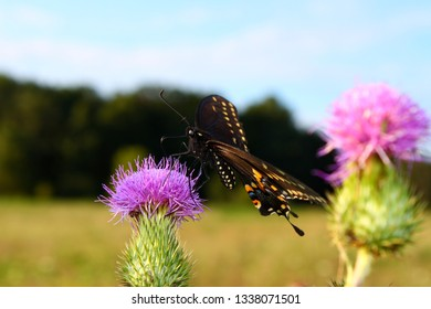 Black Swallowtail (Papilio polyxenes) sits on a thistle at Shabbona Lake State Park in Illinois