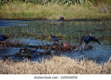 Black swan attacking pukeko in a pond