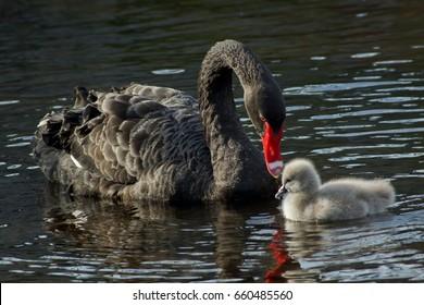 A black swan with a cygnet in Dawlish, UK