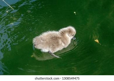 Black Swan (Cygnus atratus) cygnet in park, Moscow, Russia