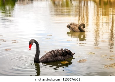 The Black Swan (Cygnus atratus) is a large waterbird, a species of swan native to southeast and southwest regions of Australia with erratic migration patterns dependent upon climatic conditions.