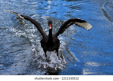 A black swan flying and skimming the water to get bread from an old man.