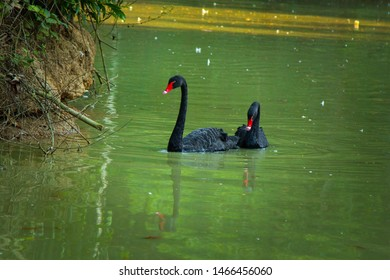 The black swan is a large waterbird, a species of swan which breeds mainly in the southeast and southwest regions of Australia. Within Australia they are nomadic.