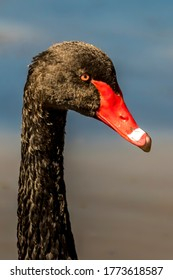 Black swan at a little lake in the wilderness of Australia at a hot and sunny day.