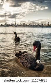 Black swan in the ocean