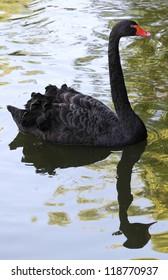 Black swan on the lake