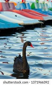 Black swan on river with blue water and boats in background