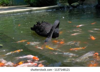 Black swan in the park pool